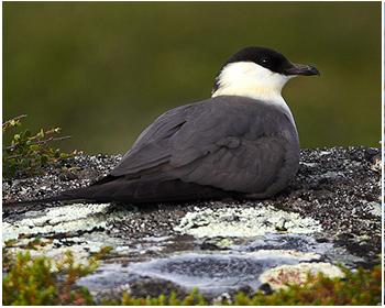 Fjällabb - Stercorarius longicaudus - Long-tailed Skua