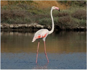 Flamingo - Phoenicopterus roseus - Flamingo