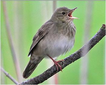 Flodsångare - Locustella fluviatilis - River Warbler