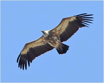 Gåsgam - Gyps fulvus - Griffon Vulture