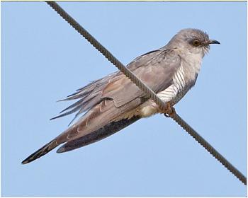 Gök - Cuculus canorus - Cuckoo