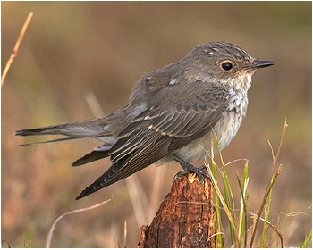 Grå flugsnappare - Muscicapa striata  - Spotted Flycatcher