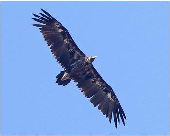 Grågam - Aegypius monachus - Black Vulture