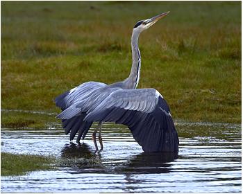 Gråhäger - Ardea cinerea - Grey Heron