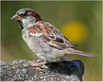 Gråsparv - Passer domesticus - House Sparrow