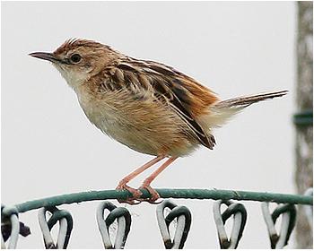 Grässångare - Cisticola juncidis - Fan-tailed Warbler
