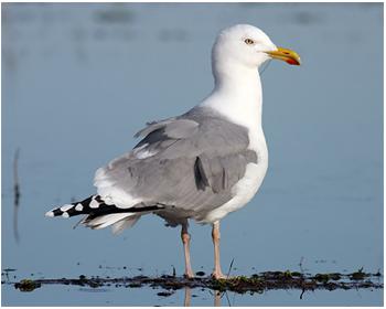 Gråtrut - Larus argentatus  - Herring Gull