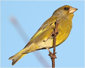 Grönfink - Carduelis chloris - Greenfinch