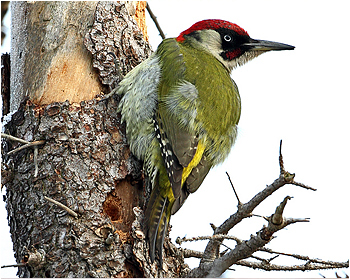 Gröngöling - Picus viridis - Green Woodpecker