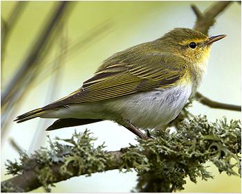 Grönsångare - Phylloscopus sibilatrix - Wood Warbler