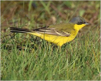 Gulärla (Yellow Wagtail)