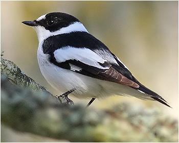 Halsbandsflugsnappare - Ficedula albicollis - Collared Flycatcher