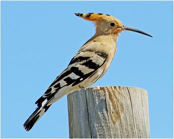 Härfågel - Upupa epops - Hoopoe