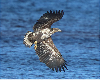 Havsörn (White-tailed Eagle) vid Lagaoset, Halland