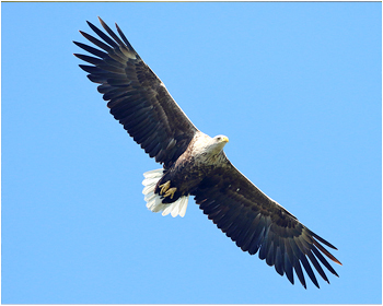 Havsörn - Haliaeetus albicilla - White-tailed Eagle