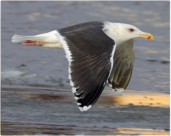 Havstrut - Larus marinus - Great Black-backed Gull