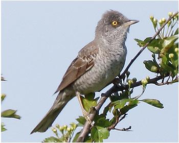 Höksångare - Sylvia nisoria - Barred Warbler