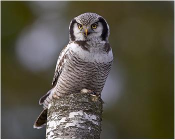 Hökuggla - Surnia ulula - Northern Hawk Owl