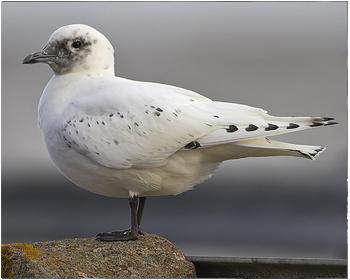 Ismås - Pagophila eburnea - Ivory Gull