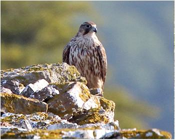 Jaktfalk - Falco rusticolus - Gyr Falcon