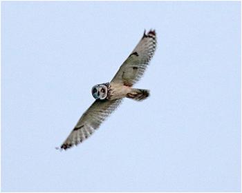 Jorduggla - Asio flammeus - Short-eared Owl