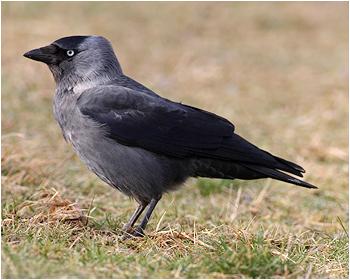 Kaja - Corvus monedula - Jackdaw