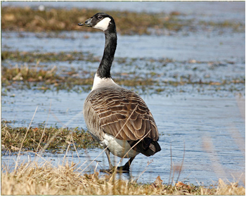 Kanadagås - Branta canadensis - Canada Goose