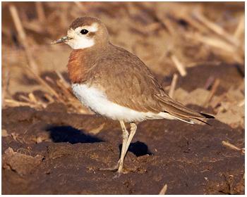 Kaspisk pipare - Charadrius asiaticus - Caspian Plover