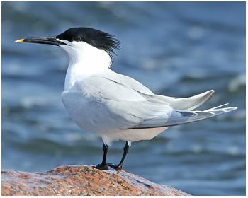 Kentsk tärna - Sterna sandvicensis - Sandwich Tern