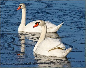 Knölsvan - Cygnus olor - Mute Swan