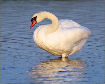 Knölsvan (Mute Swan) vid Nabben, Falsterbo i Skåne