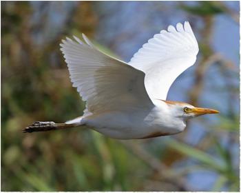 Kohäger - Bubulcus ibis - Cattle Egret