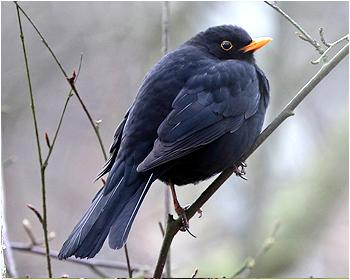 Koltrast - Turdus merula - Blackbird