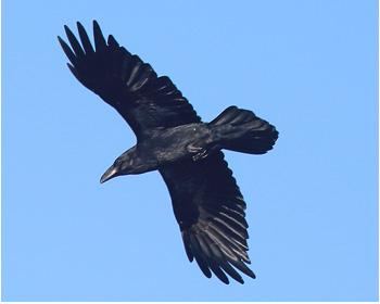 Korp (Raven) vid Hjälms våtmark utanför Kungsbacka, Halland