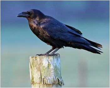 Korp (Raven)