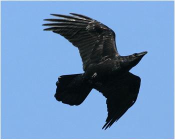 Korp - Corvus corax - Raven