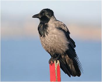 Gråkråka - Corvus corone cornix - Hooded Crow