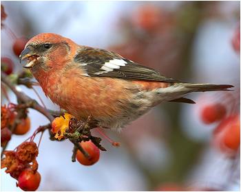 Kråkfåglar-Fältsparvar