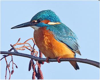 Kungsfiskare - Alcedo atthis - Kingfisher