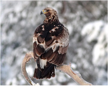 Kungsörn - Aquila chrysaetos - Golden Eagle