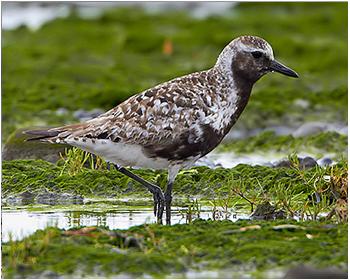 Kustpipare - Pluvialis squatarola - Grey Plover