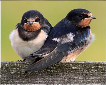 Ladusvala - Hirunda rustica - Barn Swallow
