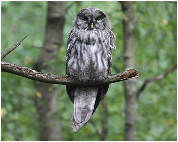 Lappuggla - Strix nebulosa - Great Grey Owl
