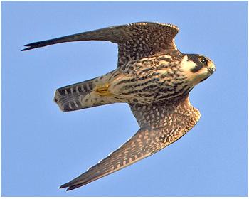 Lärkfalk -  Falco subbuteo - Eurasian Hobby