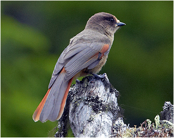 Lavskrika - Perisoreus infaustus - Siberian Jay
