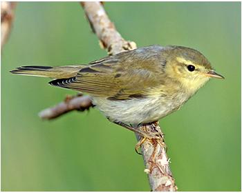 Lövsångare - Phylloscopus trochilus - Willow Warbler