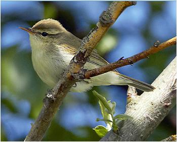 Lundsångare - Phylloscopus trochiloides - Greenish Warbler
