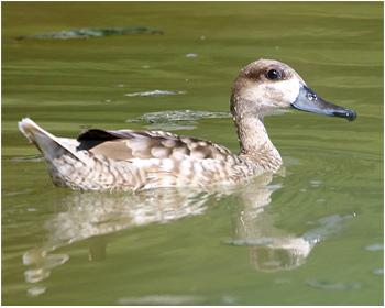 Marmorand - Marmaronetta angustirostris - Marbled Duck