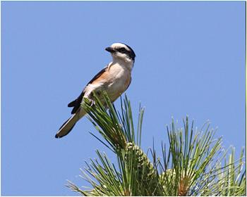 Masktörnskata - Lanius nubicus - Masked Shrike