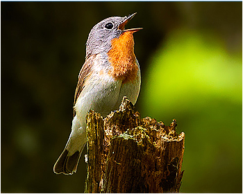 Mindre flugsnappare - Ficedula parva - Red-breasted Flycatcher